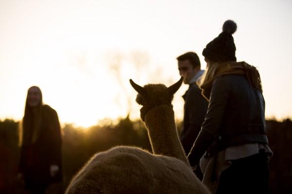 Gutschein für eine Alpaka-Wanderung, 4 Personen